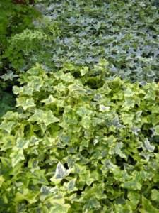 piante velenose edera
