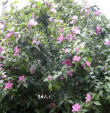 lavori giardino agosto ibisco siriaco