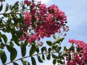 Lagerstroemia a fiori rossi
