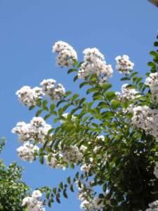 Lagerstroemia a fiori bianchi