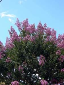 lagerstroemia fiori lilla