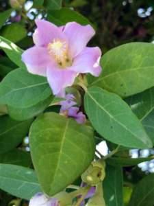 piante australiane  lagunaria patersonii