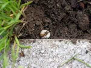 parassiti animali orto larva maggiolino
