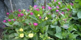 bella di notte rosa gialla