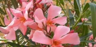 piante velenose oleandro