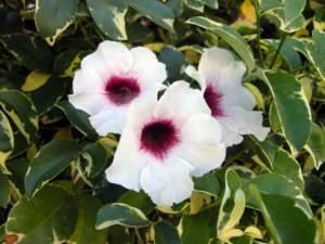 piante australiane pandorea