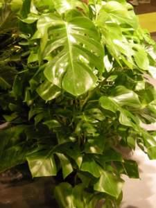 piante velenose filodendro