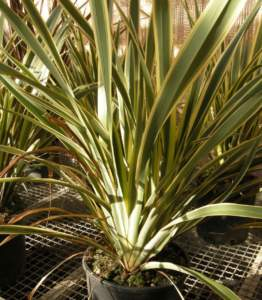 piante australiane Phormium