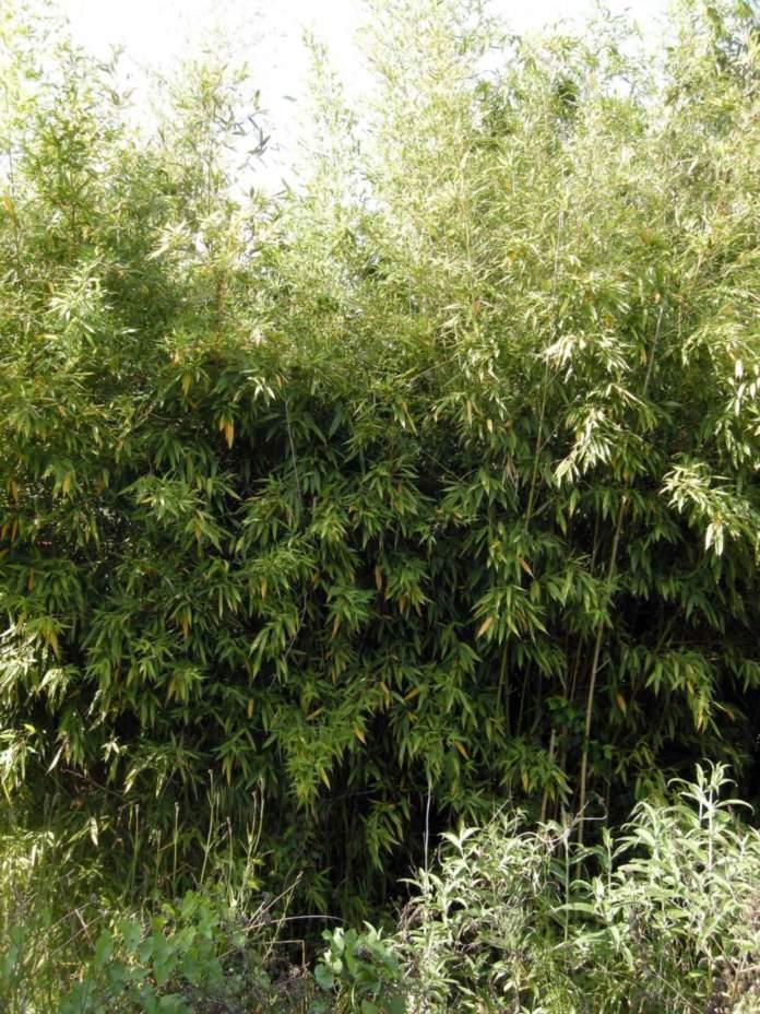 bambu phyllostachys viridis