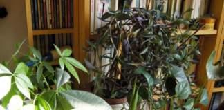 annaffiare le piante d'appartamento raggruppate