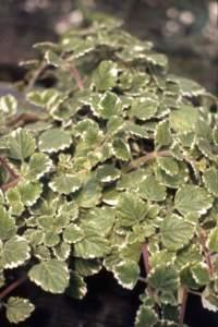 piante australiane plectranthus
