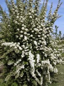 piracanta agazzino fiori bianchi
