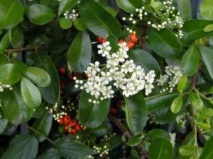 piracanta agazzino fiori bianchi bacche rosse