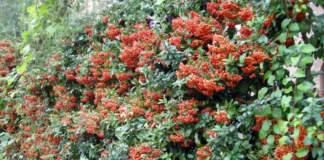 piracanta agazzino siepe bacche rosse