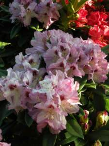 piante velenose rododendro