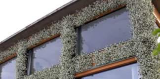 apocynacee Rincospermum su facciata