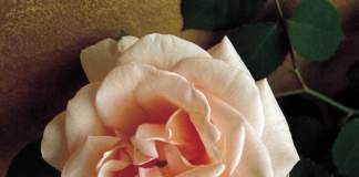 riprodurre rose