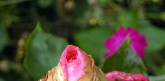 estate piovosa rosa bocciolo ammuffito