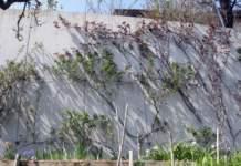rose potano sarmentose su muro