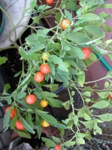 piante velenose solanum pseudocapsicum