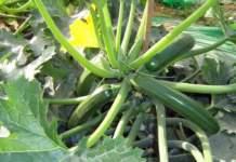 zucchino luglio agosto