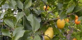 limone vaso
