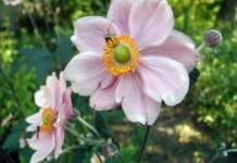 anemoni giapponesi hupehensis