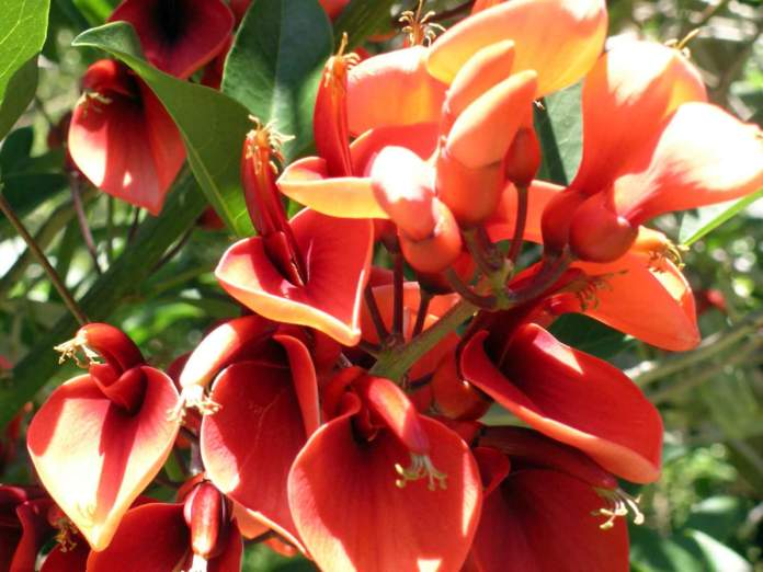 eritrina fiori