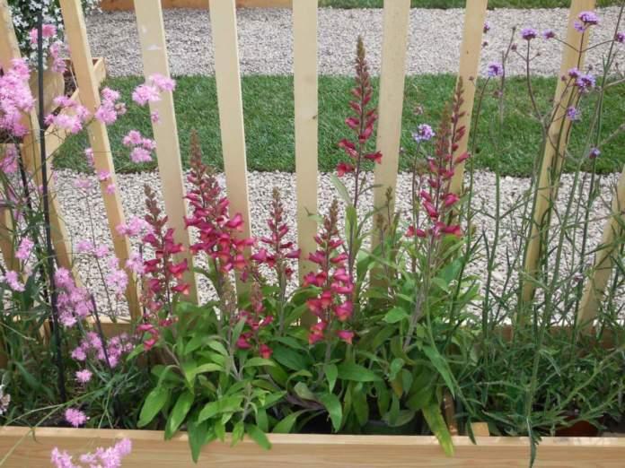 rinnovare giardino dianthus verbena penstemon