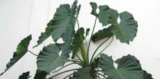piante d'appartamento ingombranti filodendro