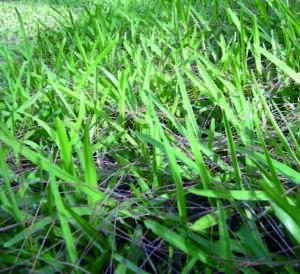 zoisia stenotafrum pennisetum stenotaphrum secundatum