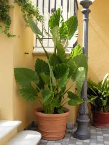 piante d'appartamento alocasia