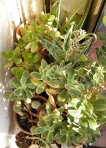 piante d'appartamento aloe variegata