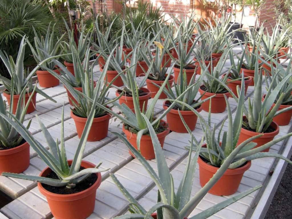 piante grasse aloe vera