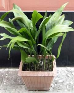 piante d'appartamento aspidistra
