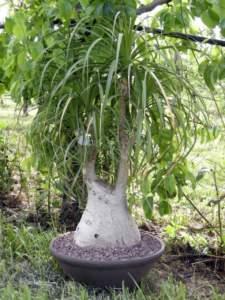 piante d'appartamento beaucarnea