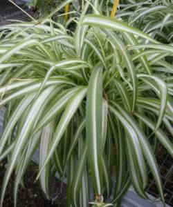 piante d'appartamento chlorophytum