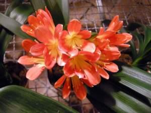 piante d'appartamento clivia