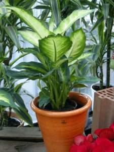 piante d'appartamento dieffenbachia