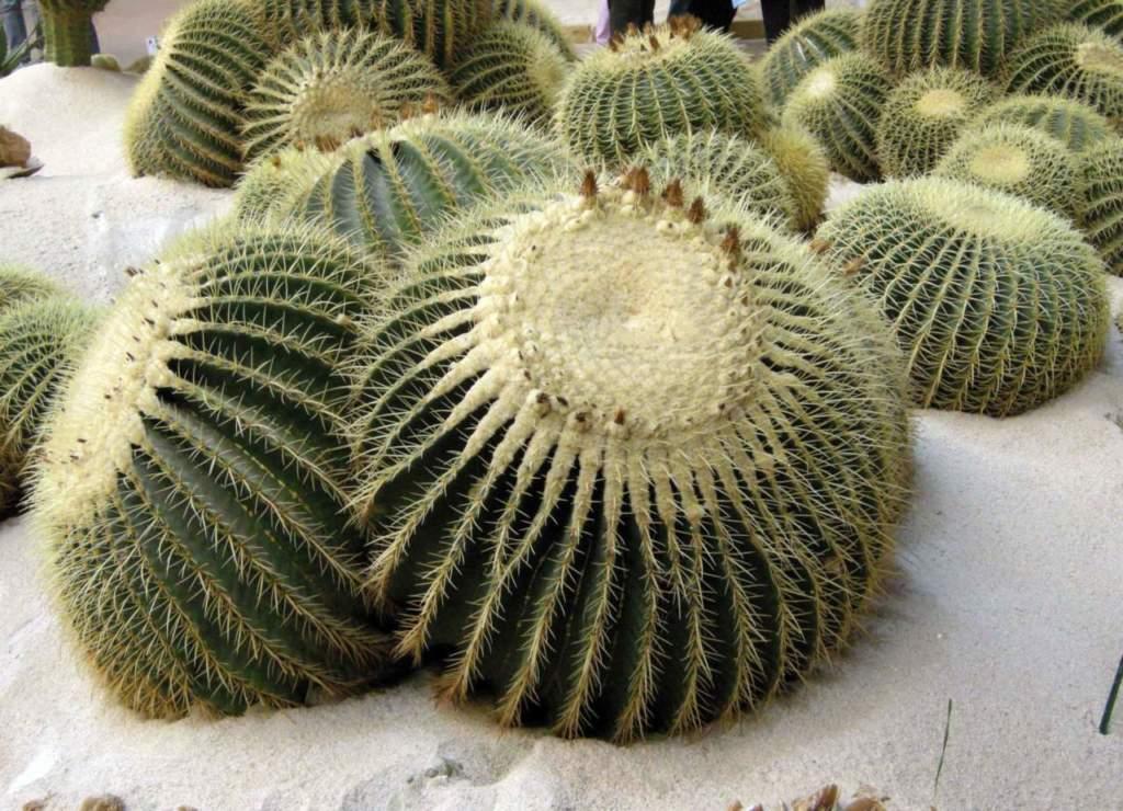 piante grasse echinocactus