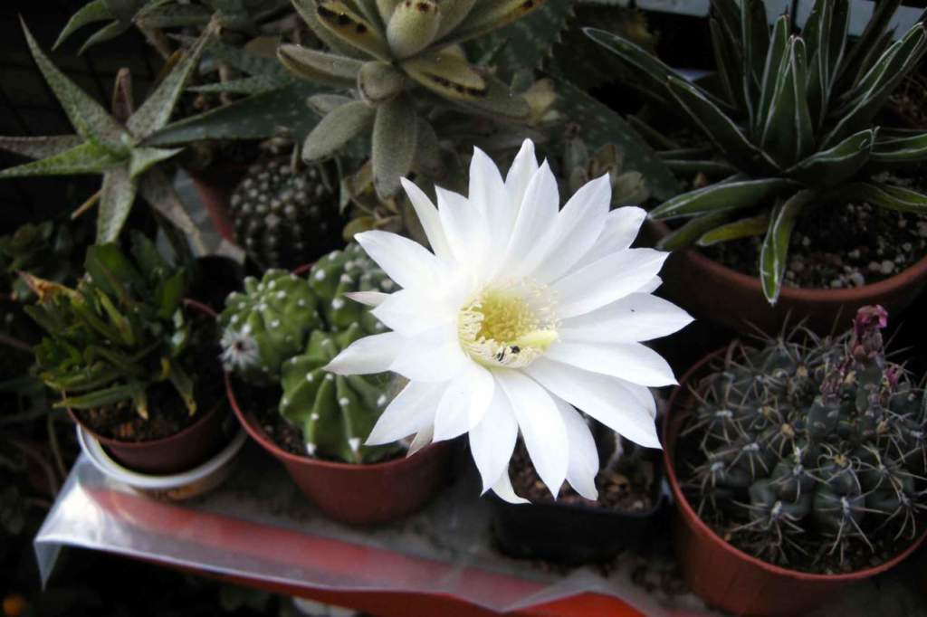 piante grasse echinopsis