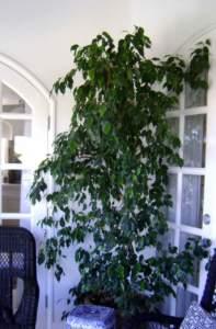 piante d'appartamento ingombranti ficus