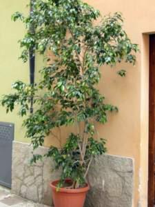 piante d'appartamento ficus benjamina