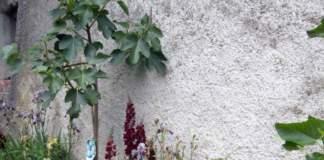 impianti trapianti giardino fico