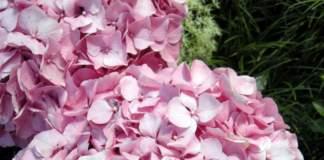 piante sballo ortensia
