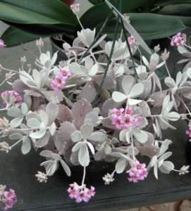 piante grasse kalanchoe