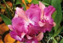 orchidee ibridi Laeliocattonia