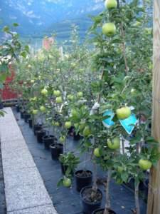 impianti trapianti meli vaso vivaio