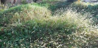ziosia stenotafrum pennisetum