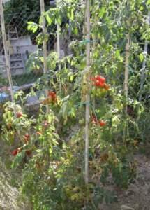 pomodori ciliegino stress idrico